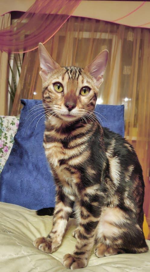 一只纯血统孟加拉猫的照片与一个美好的样式的在看的面孔和的羊毛坐和 图库摄影