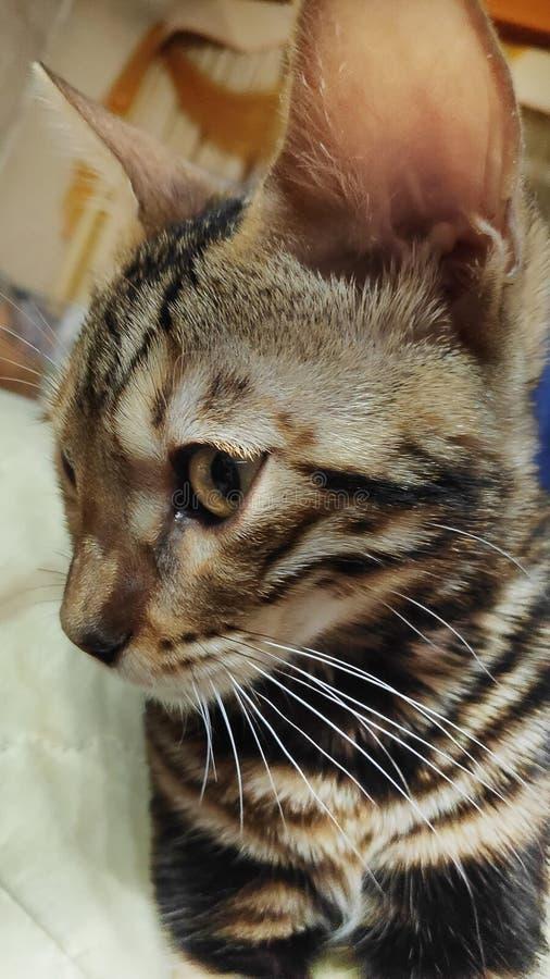 一只纯血统孟加拉猫的照片与一个美好的样式的在看的面孔和的羊毛坐和 库存照片