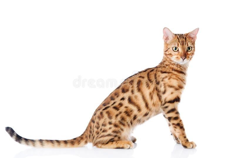 一只纯血统孟加拉猫的画象。 库存图片