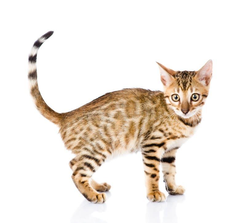 一只纯血统孟加拉猫的画象 在空白背景 免版税库存照片