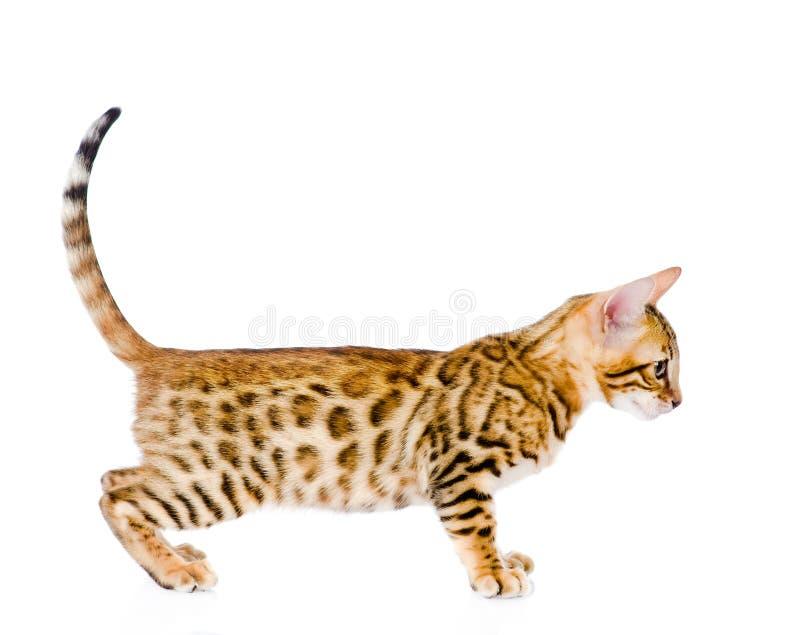 一只纯血统孟加拉猫的画象 查找 查出 免版税库存图片