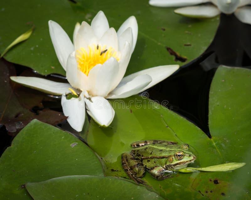 一只绿色水池青蛙坐荷花的叶子 免版税图库摄影