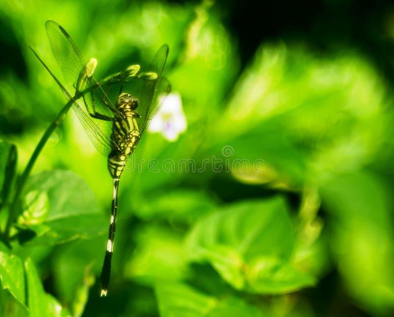 一只绿色蜻蜓的伪装 图库摄影
