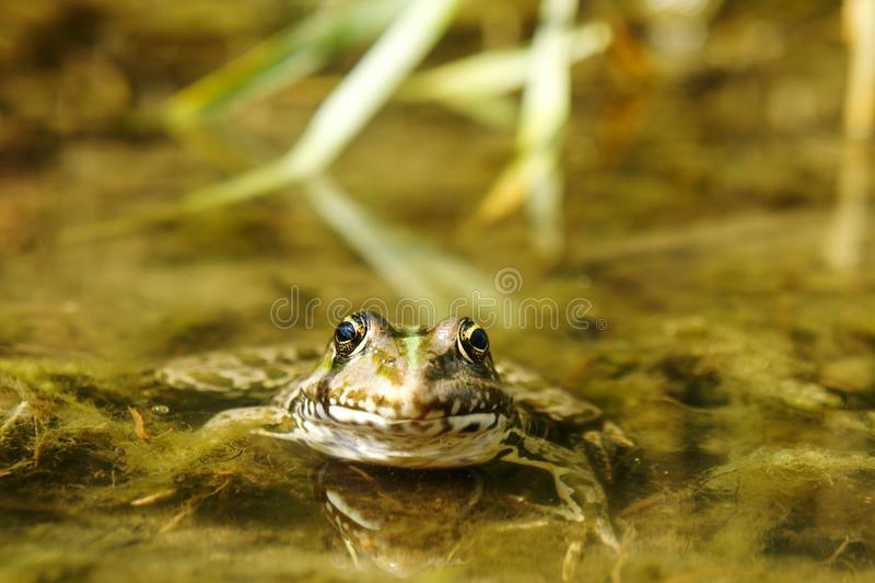 一只绿色蟾蜍在一个肮脏的池塘坐 库存照片
