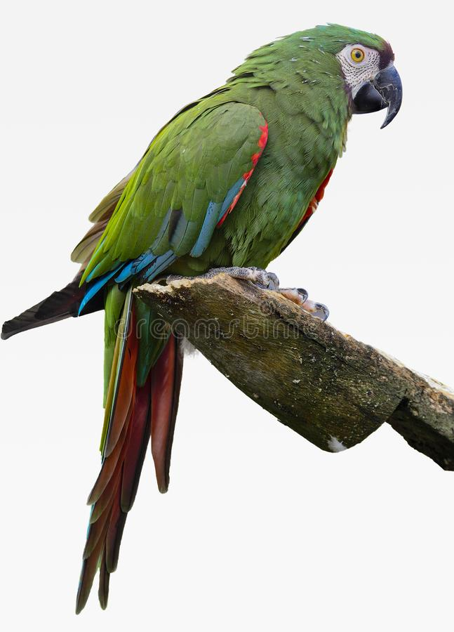 一只绿色金刚鹦鹉坐一个壁架有白色背景 免版税库存照片