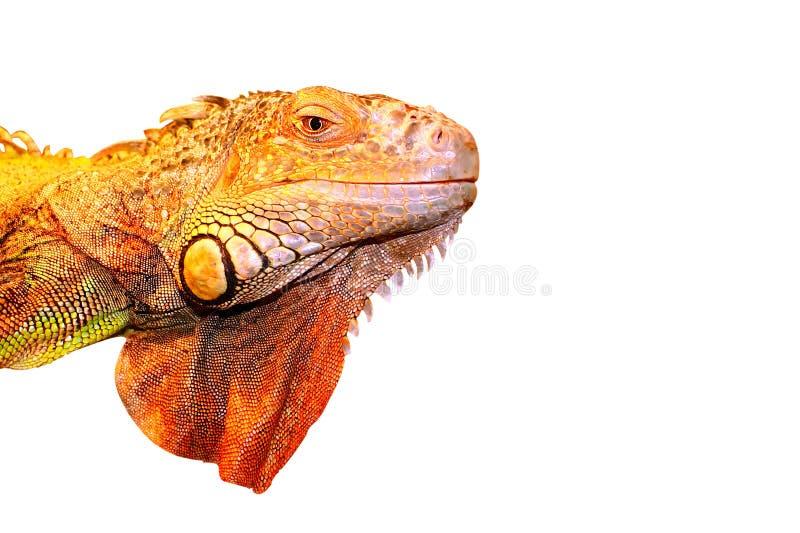 一只绿色鬣鳞蜥,头,隔绝在白色背景 图库摄影