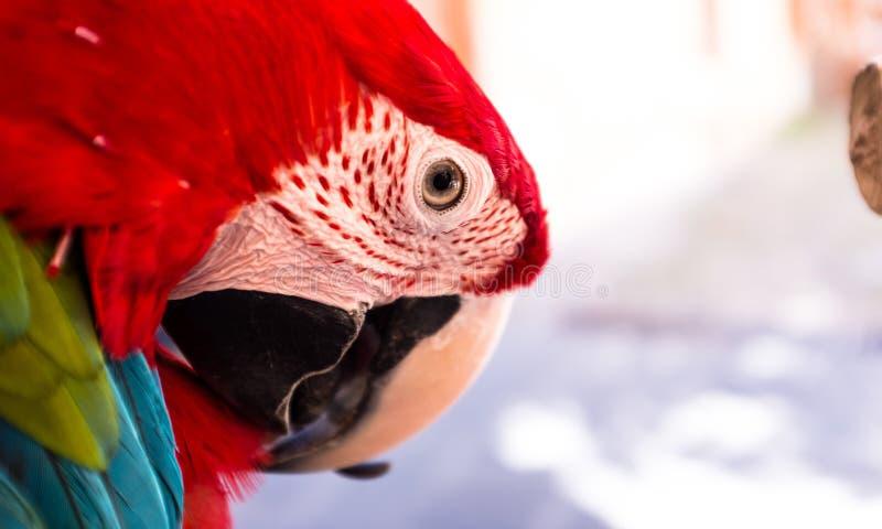 一只美丽和五颜六色的成人家养的红色鹦鹉的特写镜头 免版税库存照片