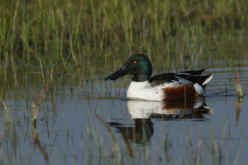 一只美丽的公使用铲子工作的人鸭子,语录clypeata,游泳在河 库存图片