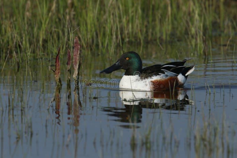一只美丽的公使用铲子工作的人鸭子,语录clypeata,游泳在河 免版税图库摄影
