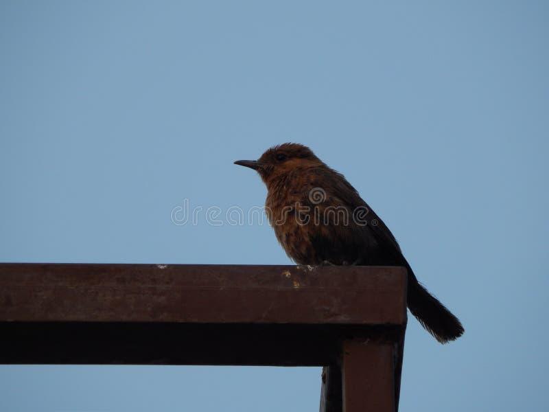 一只美丽的印度夜莺在印度 库存图片
