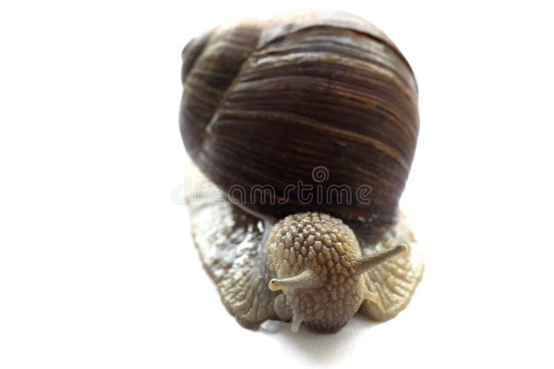 一只美丽的大蜗牛的宏观摄影在壳的在白色背景 图库摄影