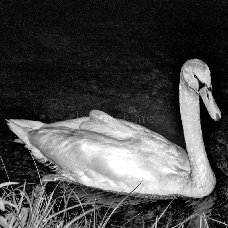 一只美丽的天鹅的黑白照片 库存照片