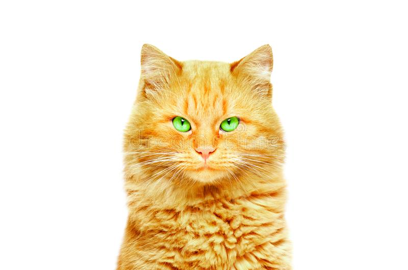 一只美丽的姜猫的画象 图库摄影