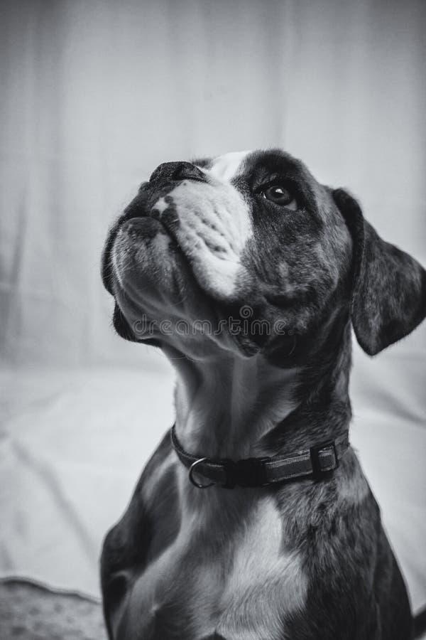 一只美丽的拳击手小狗的黑白图象 免版税库存图片