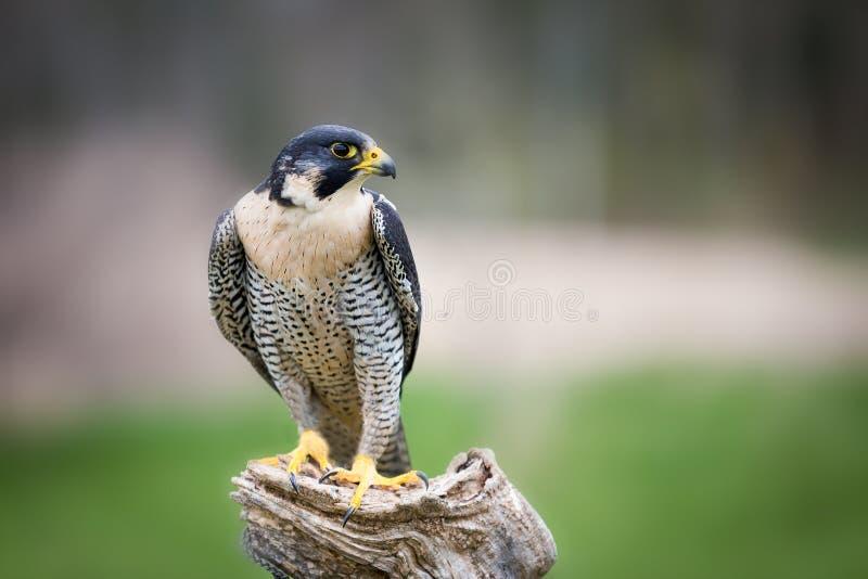 一只美丽的旅游猎鹰坐树 免版税库存图片