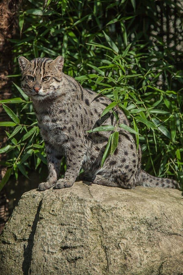 一只美丽的渔猫 图库摄影