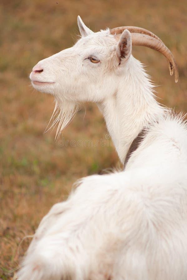 一只美丽的白色山羊的特写镜头画象带着渴望的凝视本质上 库存图片