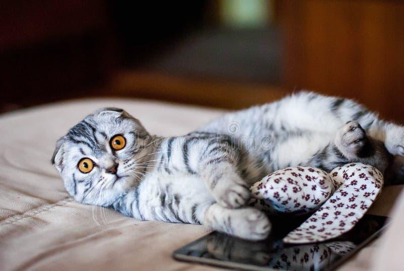一只美丽的苏格兰人折叠猫在玩具和网片剂旁边说谎 猫是银色与橙色眼睛 免版税库存照片