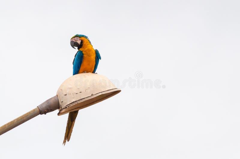 一只美丽的蓝色和黄色金刚鹦鹉在路灯柱登陆了 免版税库存照片