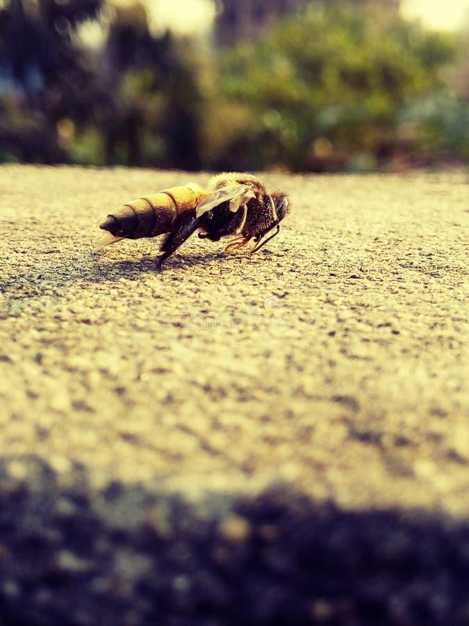 一只美丽的蜂 免版税库存图片