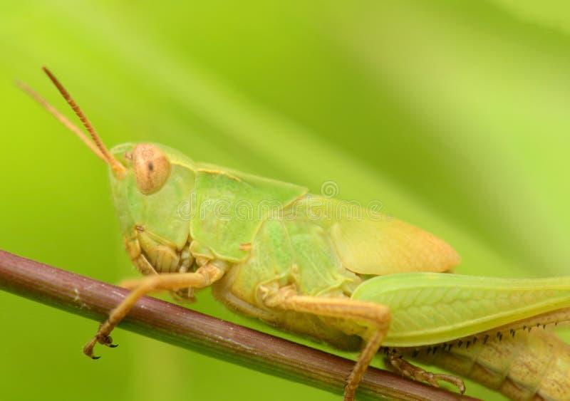一只美丽的蝗虫的宏观射击 库存照片