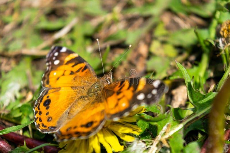 一只美丽的蝴蝶的特写镜头与橙色&黑翼的,坐在豪华的绿色中的一个黄色开花的蒲公英 免版税库存照片