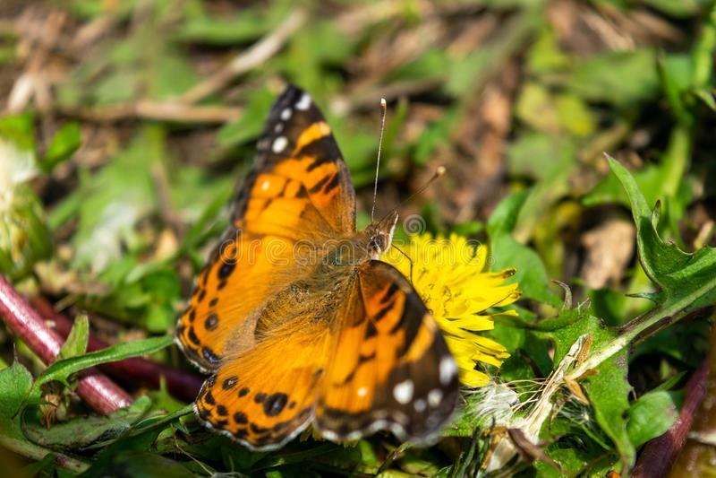 一只美丽的蝴蝶的特写镜头与橙色&黑翼的,坐在豪华的绿色中的一个黄色开花的蒲公英 图库摄影