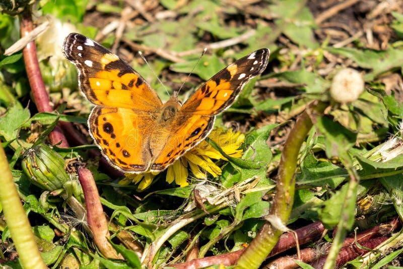 一只美丽的蝴蝶的特写镜头与橙色&黑翼的,坐在豪华的绿色中的一个黄色开花的蒲公英 免版税库存图片