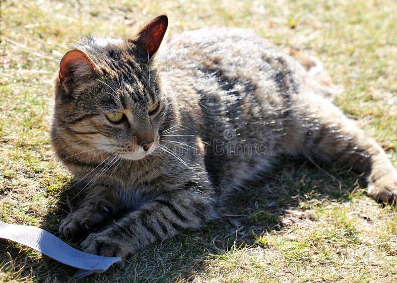 一只美丽的被剥离的猫的画象 免版税库存图片