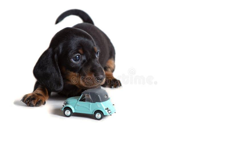 一只美丽的达克斯猎犬小狗在一辆蓝色玩具汽车旁边坐并且今后看 免版税库存图片