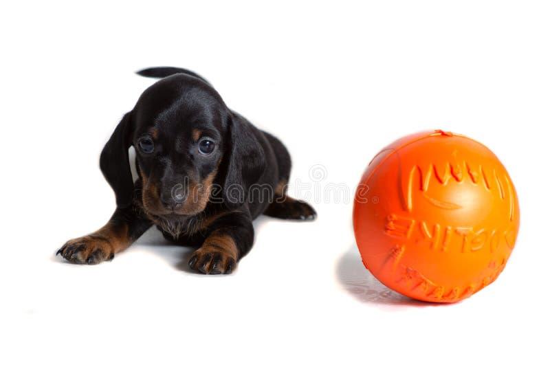 一只美丽的达克斯猎犬小狗在橙色球旁边坐并且今后看 库存图片