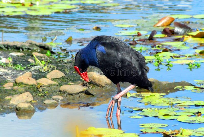 一只美丽的非洲沼泽母鸡 免版税库存图片