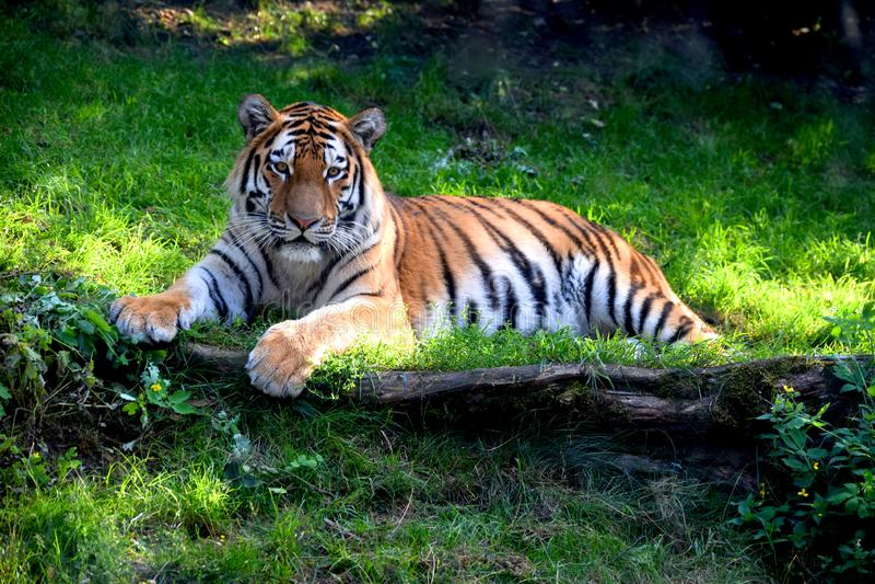 一只美丽的Ussurian老虎在草说谎 免版税库存图片