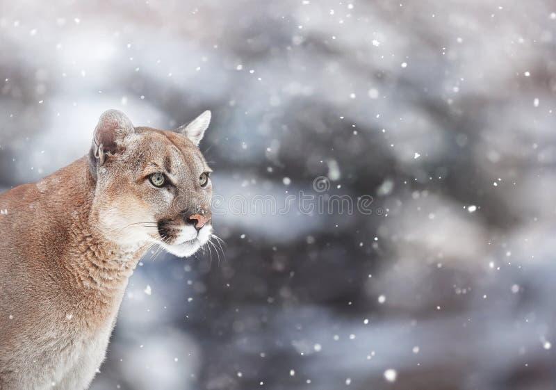一只美洲狮的画象在雪的,冬天场面在森林 免版税库存图片