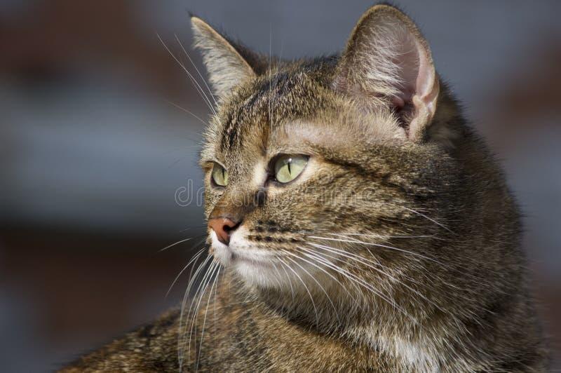 一只背景模糊的条纹小猫肖像 库存图片