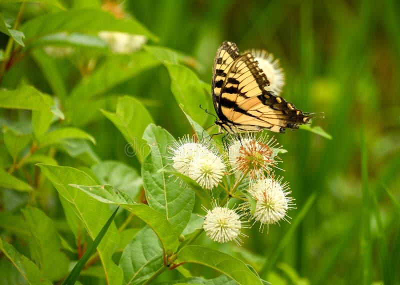 一只至善至美的黑脉金斑蝶 免版税库存照片