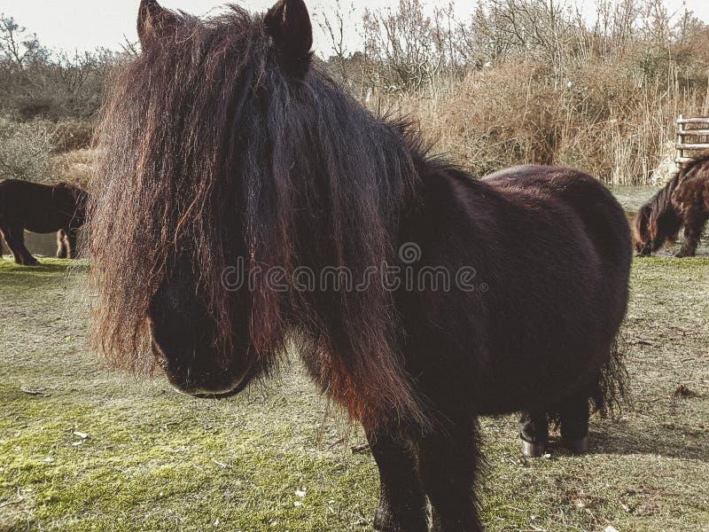 一只舍特兰群岛小马在冬天 免版税库存图片