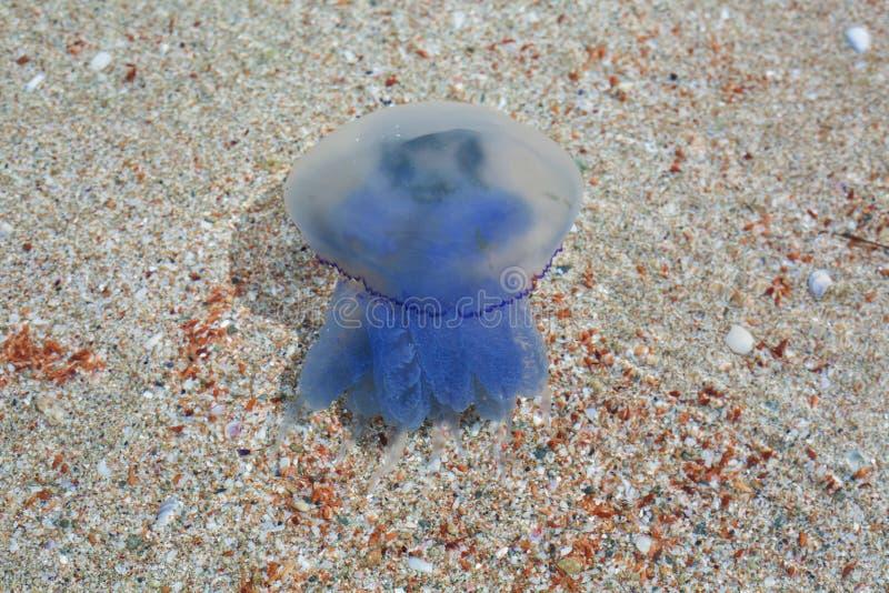 一只蓝色水母的特写镜头 图库摄影