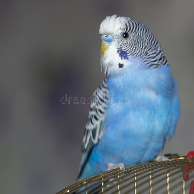 一只蓝色波浪鹦鹉坐笼子 库存照片