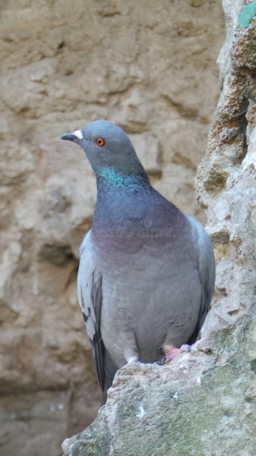 一只蓝色鸽子 库存照片