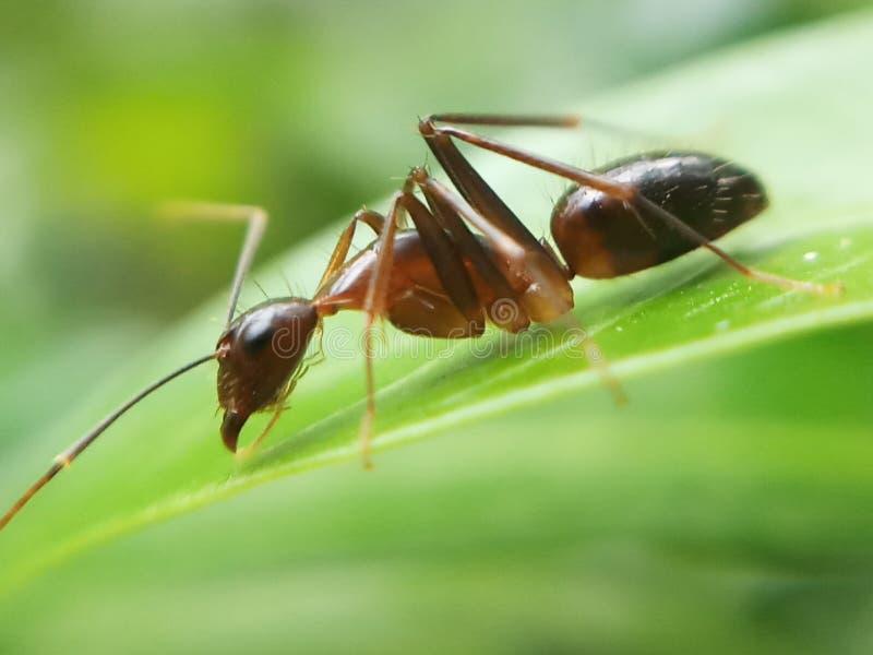 一只蚂蚁 图库摄影