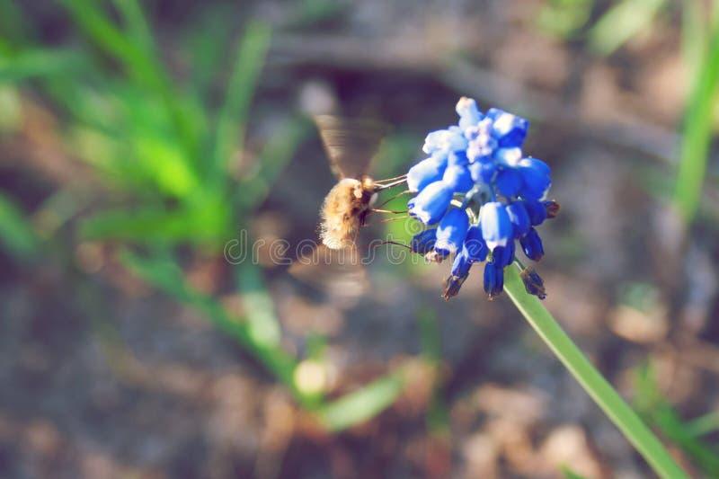 一只蜂在明亮的蓝色穆斯卡里的好日子 免版税库存图片