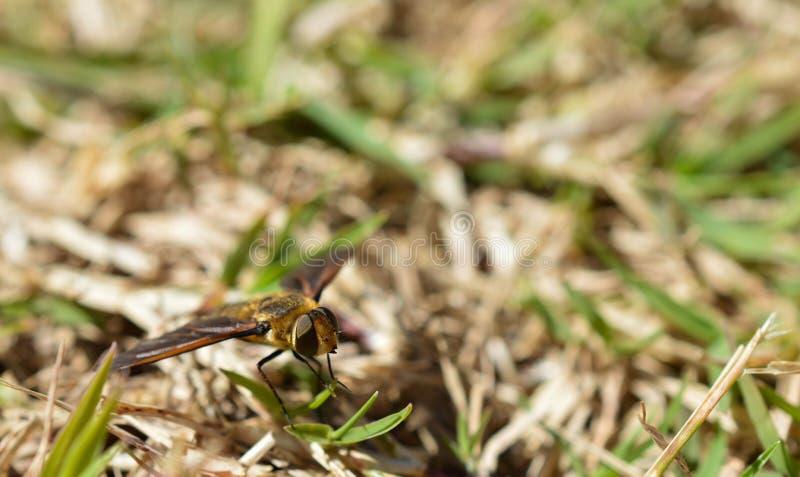 一只蜂的宏观照片在干燥,棕色和绿草的 免版税库存图片
