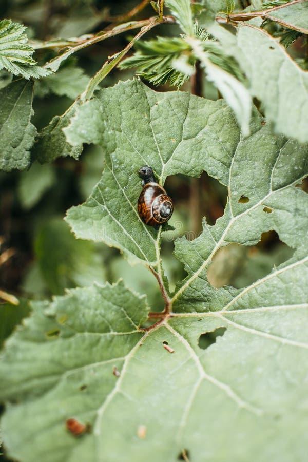 一只蜗牛的垂直的特写镜头射击在一片绿色叶子的在森林里 库存照片