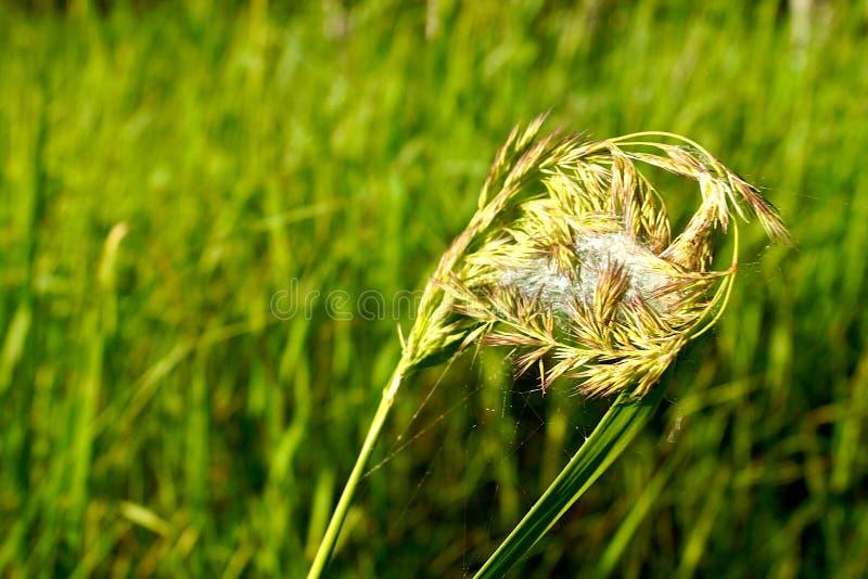 一只蜘蛛的陷井从一个网的在绿草的背景的一棵黄色植物上 免版税库存图片