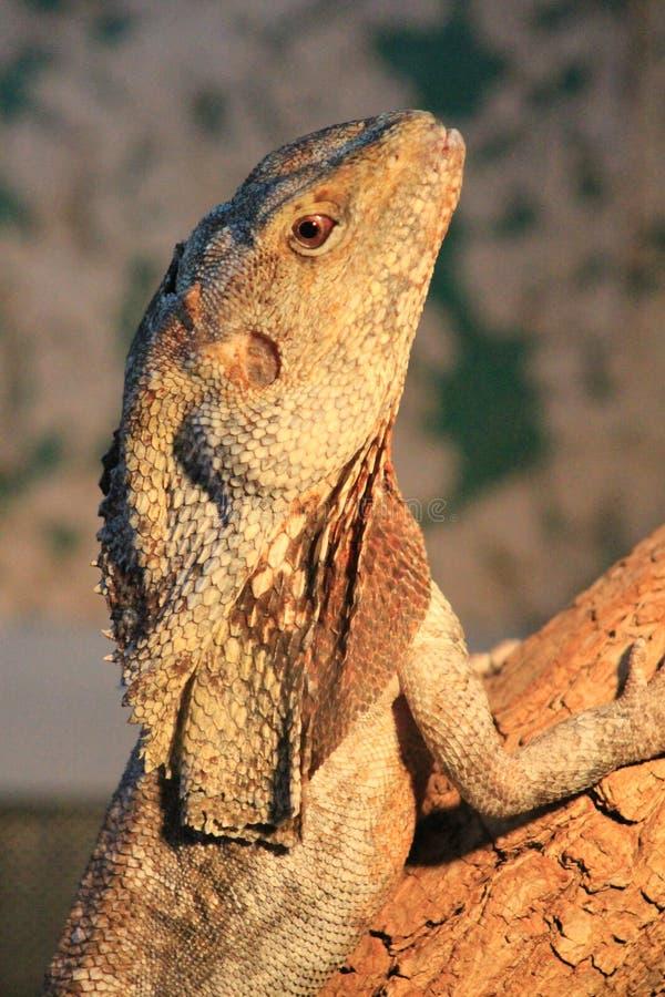 一只蜥蜴的头与皇家脖子的Chlamydosaurus的,拍摄在动物园里 免版税库存照片