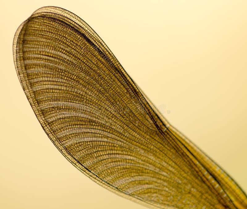 一只蜻蜓的翼本质上 库存图片
