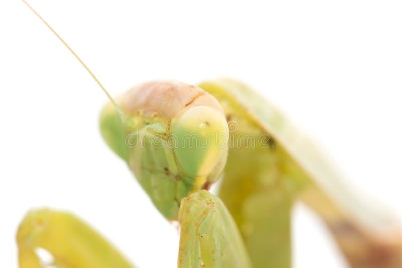 一只螳螂的画象在白色背景的 宏指令 免版税图库摄影