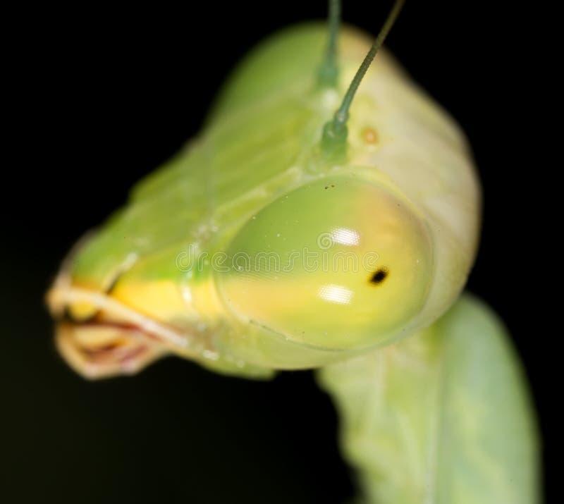 一只螳螂的画象 2009朵超级花宏观的夏天 库存图片