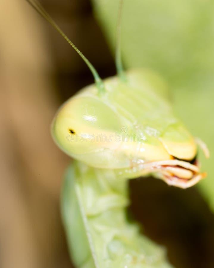 一只螳螂的画象 2009朵超级花宏观的夏天 免版税库存照片